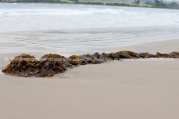 Kelp in tangled washed strand on beach in Catlins.