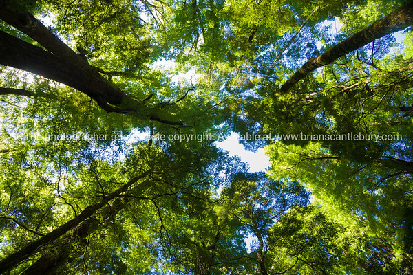South Island Scenic. Forest canopy, towering beech trees converge above.