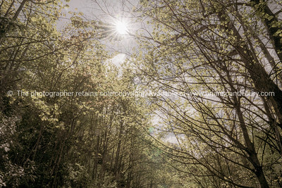 Lens flare and sun through tree canopy