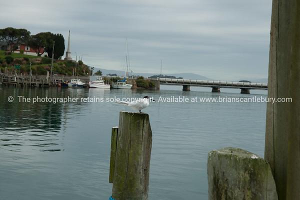 White front tern