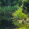 Flax and other vegetation growing densely and ref=lected in calm water