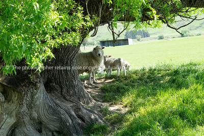 Ewe and lambs sheltering in shade of gnarly old willow tree