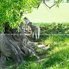 Lambs sheltering in shade of gnarly old willow tree