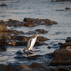 Pairs of yellow-eyed penguins or hoiho arriving at waters edge early evening in preparation to head out to sea to feed