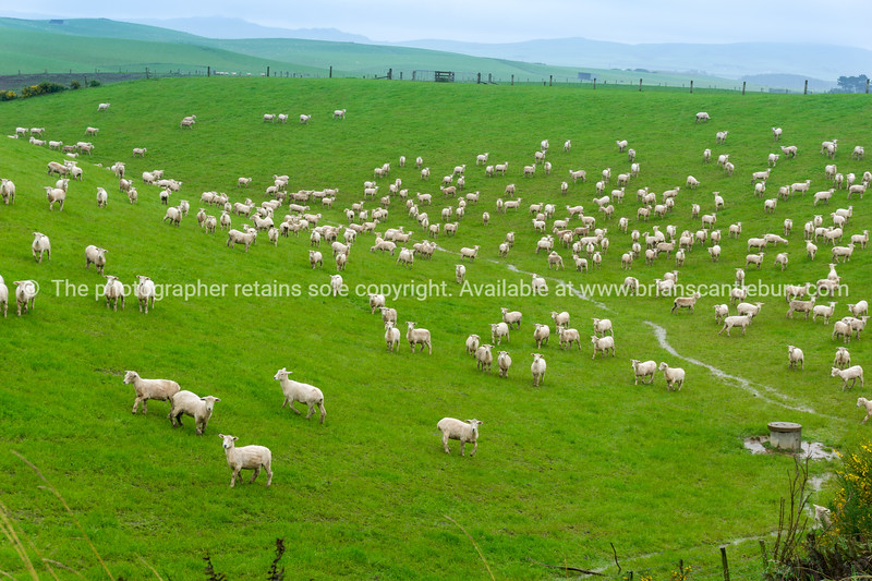 Recently shorn lambs running into and through a small green valley