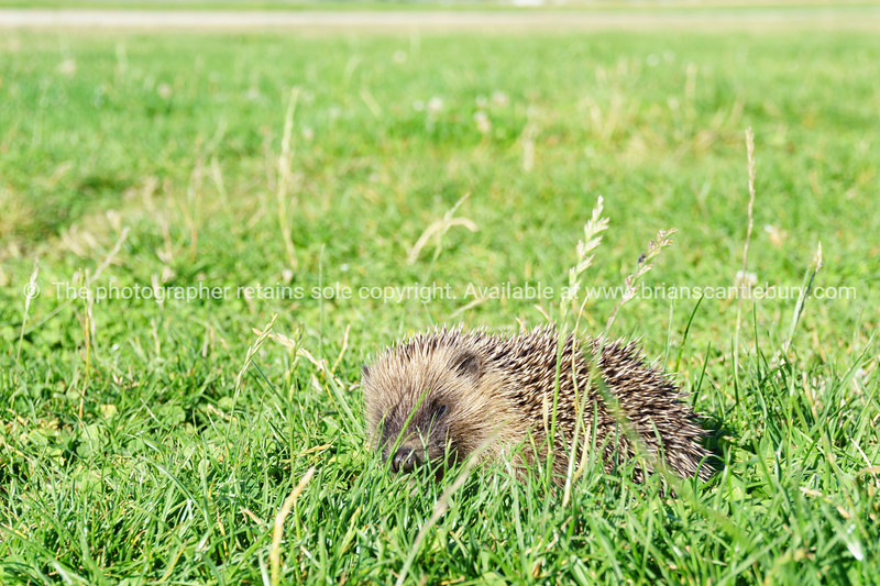 Spiny hedgehog in green grass