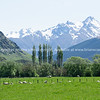 Sheep grazing in fields below snow-capped mountains of South Island