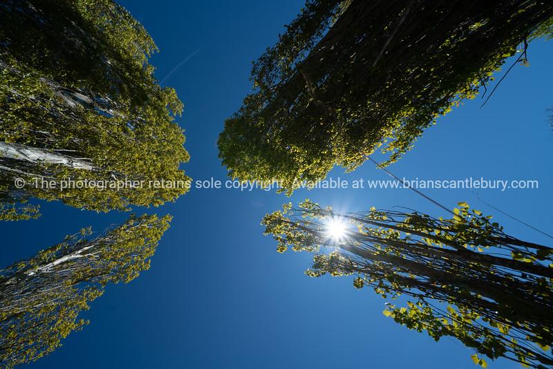 Converging poplar and kowhai trees