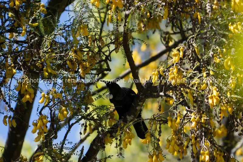 Kowhai tree on bloom
