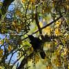 Kowhai tree on bloom