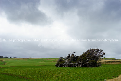 The Catlins, Slope Point trees growing under influence of strong winds.
