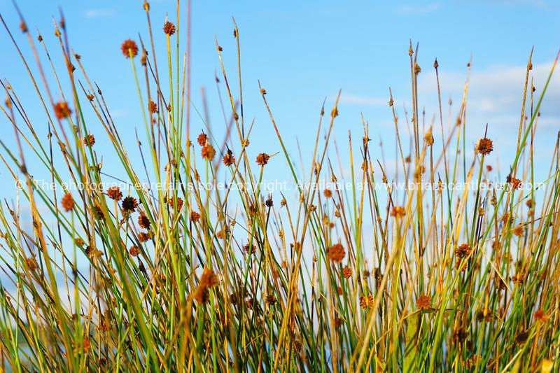 Wetland vegetation leafless rush