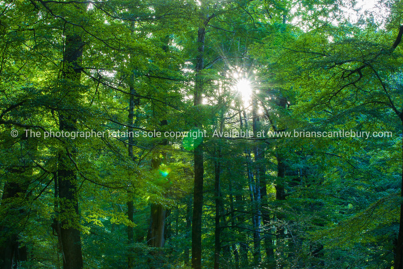 Rising sun flares through the beech forest at Paradise.