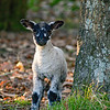 Young lamb sitting in shade