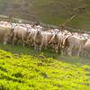 Flock of lambs
