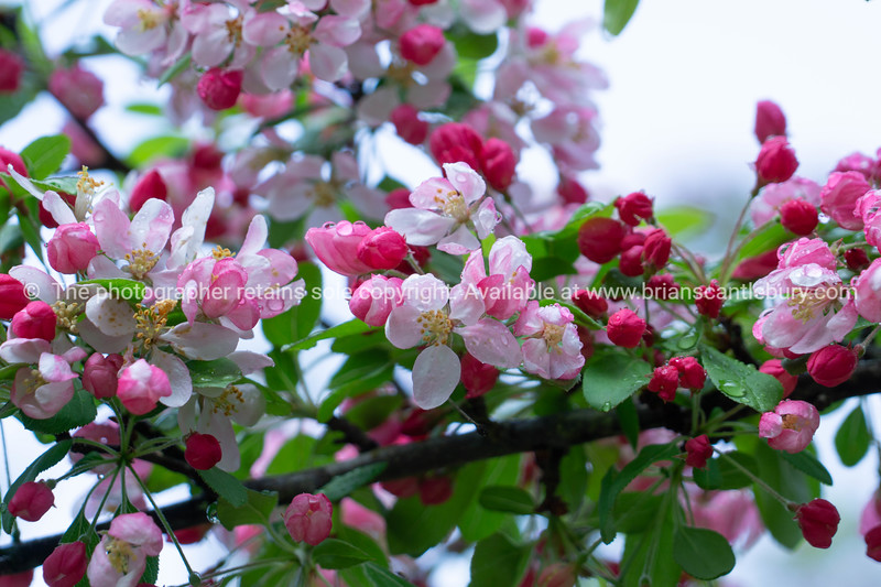 Bright pink ornamental cherry blossom