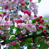 Bright pink ornamental cherry blossom