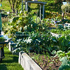 "Gardener, Carol, Community garden plot, Otumoetai, Tauranga. See;  <a href=""http://www.blurb.com/b/3811392-tauranga"">http://www.blurb.com/b/3811392-tauranga</a> mount maunganui landscape photography, Tauranga Photos; Tauranga photos, Photos of Tauranga Also see; <a href=""http://www.brianscantlebury.com/Events"">http://www.brianscantlebury.com/Events</a>"