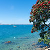 Pohutukawa in brilliant red bloom hanging over water's edge on base Mount Maunganui.