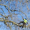 Arborist high in tree supported by safety ropes trimming branches.