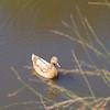 Mallard duck on pond, lighter bown variant.