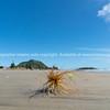 Spinifex seedhead blowing along beach
