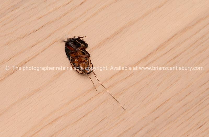 Dead pest cockroach on it's back