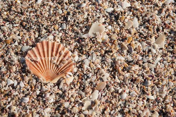 Fan shell from scallop on shelly beach.
