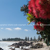 "Pohutukawa red flowering New Zealand native tree, in it's natural coastal environment. See;  <a href=""http://www.blurb.com/b/3811392-tauranga"">http://www.blurb.com/b/3811392-tauranga</a> mount maunganui landscape photography, Tauranga Photos; Tauranga photos, Photos of Tauranga Also see; <a href=""http://www.brianscantlebury.com/Events"">http://www.brianscantlebury.com/Events</a>"