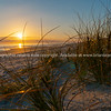 Golden glow of sedge growing on sand as dune protection