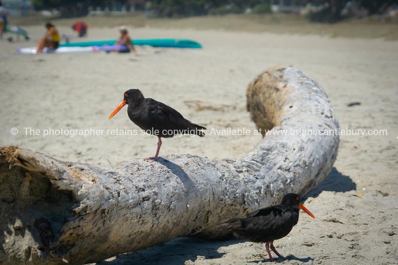 Two black oystercatchers on log on beach 1