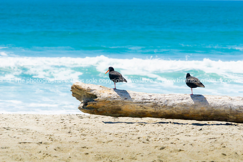 Two black oystercatchers on log on beach watching the sea and surfers.