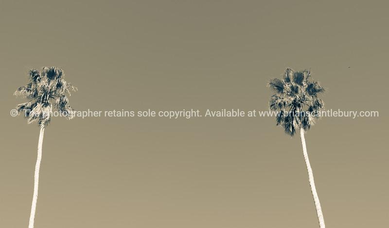 Split toned effect tall fan palm trees against blue sky