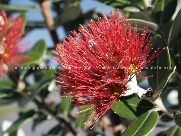 "Pohutukawa flower, also see ""Macro"" gallery."
