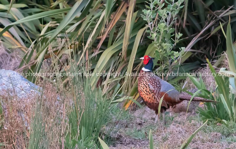 Common pheasant