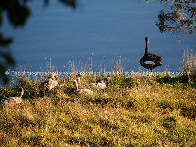 Swan and cygnets at McLaren Falls lake. Tauranga scenics.  Mother swan and signets on lake edge. McLarens Falls Lake, Tauranga, Bay of Plenty, New Zealand. Tauranga is New Zealands 5th largest city and offers a wonderfull variety of scenic and cultural experiences. Tauranga stock images Tauranga scenics. See; www.blurb.com/b/3811392-tauranga mount maunganui landscape photography, Tauranga Photos; Tauranga photos, Photos of Tauranga Also see; http://www.brianscantlebury.com/Events