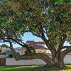 Beautiful large pohutukawa tree in bloom with it's characteristic red flowers in coastal suburban street.
