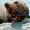 Wide open, fur seal yarns. Tora rocky coastline. New Zealand image.