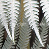 New Zealand Silver Fern fronds. New Zealand Image.