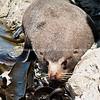 Seal on Tora rocky coastline. New Zealand image.