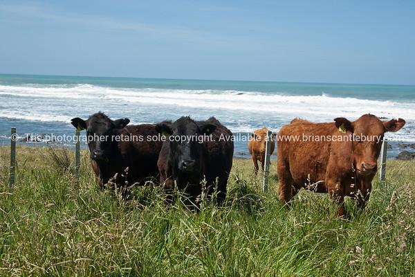 cattle, Scenic New Zealand, the Wairarapa coastal farmland. Tora. New Zealand Image