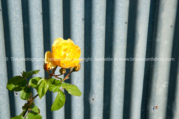 Yellow rose against stack corrugated iron.