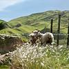 Sheep, Wairarapa back country farmland. New Zealand images.
