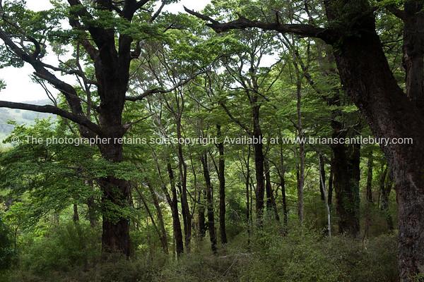 Beech Forest, Tora. New Zealand Image.