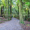 Walking or hiking track through a stand of tall native New Zealand trees with moss covered trunks.