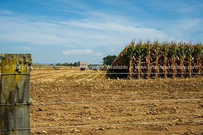 Maize harvest.