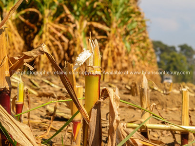 Maize field after harvest.