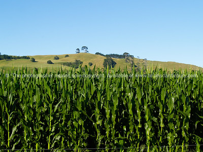 Maize on the Papamoa foothills, Bay of Plenty, New Zealand. New Zealand images, downloads, prints.