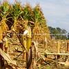 Maize at harvest, Matamata.