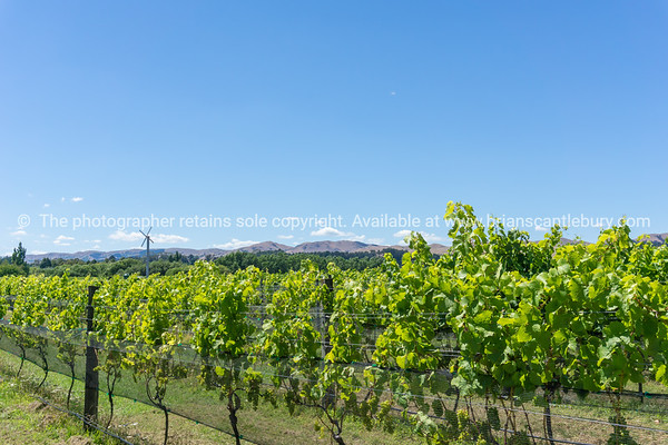 Vineyard in Martinborough